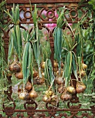 Onions hanging up to dry