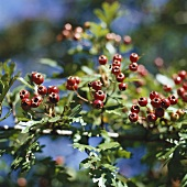 Haws on branch