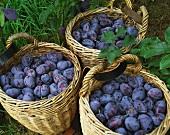 Three baskets of freshly picked damsons