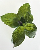 Mint leaves and flower bud