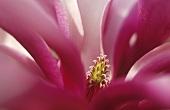 A magnolia ('Susan')