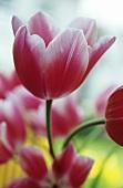 Tulip 'Leo Visser'