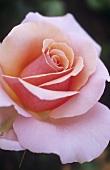 Hybrid tea rose 'Sweet Lady'