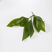 Maiglöckchenblätter (giftig: verwechselbar mit Bärlauch)