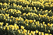 Rows of yellow tulips