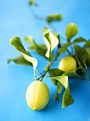 Lemon branch with lemons