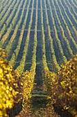 Weinberg der Oremus Winery, Tolcsva, Ungarn