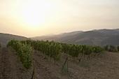 Weinbau bei Patras, Peloponnes, Griechenland