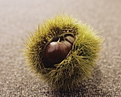Sweet chestnuts in their prickly shell