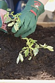 Planting a young tomato plant