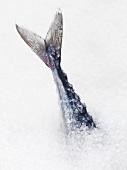 Mackerel tail sticking out of sea salt