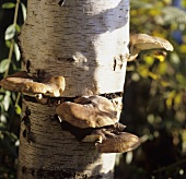 Shiitake mushrooms on the trunk of a birch tree