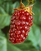 A Tayberry (cross between raspberry and blackberry)