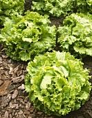 Batavia lettuce in salad bed