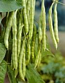 Pole beans, variety 'Bertina'