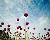 Zierlauch auf dem Feld (Allium)