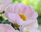 Pink peonies (Paeonia)
