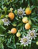Passion flowers on the plant (Passiflora caerulea)