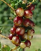 Gooseberries on the bush