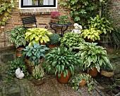 Various hostas in terracotta pots