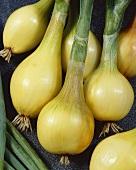Onions, variety 'Jaune de Mulhouse'