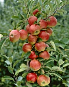 Apples on the tree, variety 'Queen's Cox'