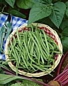 Freshly picked green beans in basket