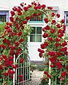 Rosenbogen mit roter Kletterrose