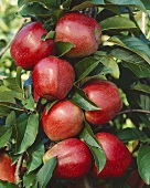 Apples on the tree, variety 'Gloster'