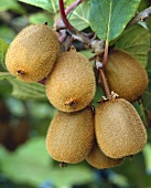 Kiwi fruit on the branch (variety 'Bruno')