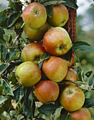 Apples, variety 'Cox's Orange Pippin', on tree