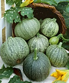 Courgettes, variety 'Rondo de Nice'