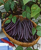 Dwarf French beans 'Purple Queen' in a basket