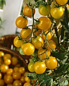 Yellow tomatoes ('Cerise Gold Nugget')