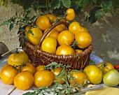 Gelbe Tomaten der Sorte 'Lemon Boy'
