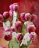 Prickly pears (Opuntia)