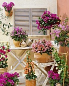 Bougainvilleas of different colours in terracotta pots