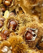 Sweet chestnuts in their prickly shells