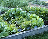 Various types of lettuces in salad bed