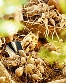 Dahlia tubers