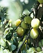 Gelbe Pflaumen am Zweig