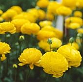 Yellow ranunculus, variety 'Wizard'