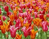 Tulpenfeld mit roten, rosa & orangefarbenen Tulpen