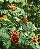 Rowan branches with berries (Sorbus aucuparia)