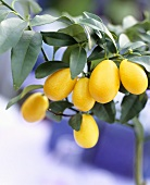 Fruit on miniature orange tree (Citrus mitis 'Calamondin')
