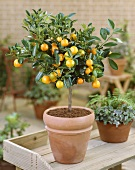 Small mandarin orange tree in pot