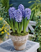 Blue hyacinths in terracotta pot