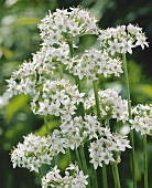 Flowering garlic chives (Allium tuberosum)
