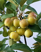 Crab apples (Malus 'Red Sentinel') on branch