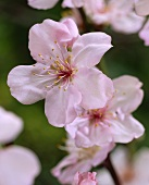 Apple Blossoms on the Branch